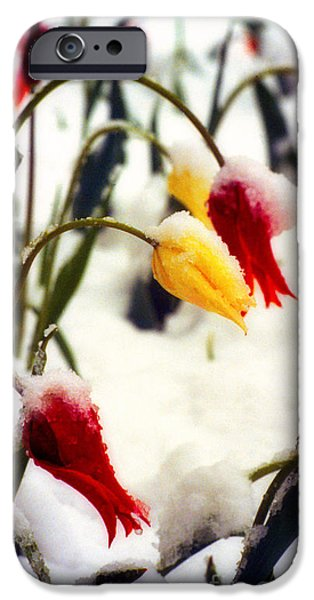 Landscape Poster Photographs iPhone Cases - Springtime Tulips in the Snow Poster Print iPhone Case by James BO  Insogna