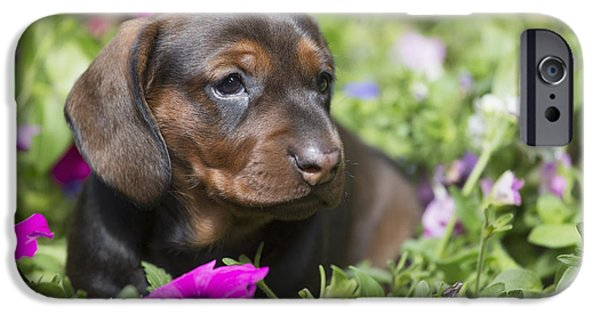 Dog And Wildflowers iPhone Cases - Standard Dachshund Puppy In Summer iPhone Case by Lynn Stone