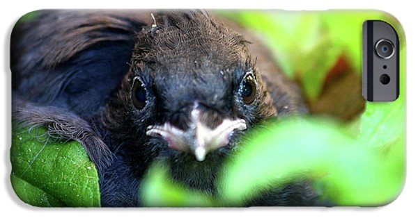 Stellar iPhone Cases - Stellers Jay Chick . 40D501 iPhone Case by Wingsdomain Art and Photography