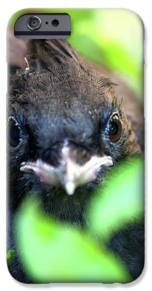 Stellers Jay Chick . 40D501 iPhone Case by Wingsdomain Art and Photography