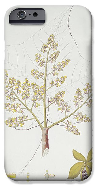 Stalks Drawings iPhone Cases - Sterculia Urens iPhone Case by English School