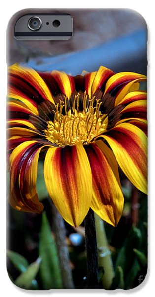 Haybale iPhone Cases - Stipped Gazania iPhone Case by Robert Bales