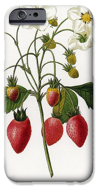 1833 Photographs iPhone Cases - Strawberry iPhone Case by Granger