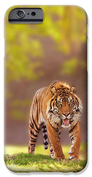 Afternoon iPhone Cases - Sumatran Tiger Walking Forward iPhone Case by Susan  Schmitz