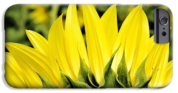 Agriculture iPhone Cases - Sunflower Days - Square iPhone Case by Georgia Fowler