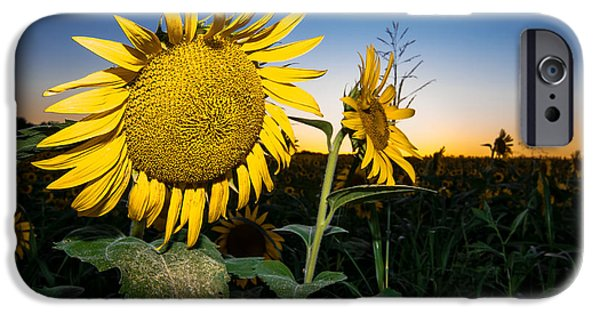 Sun Porch iPhone Cases - Sunflower Evening iPhone Case by Robert Frederick