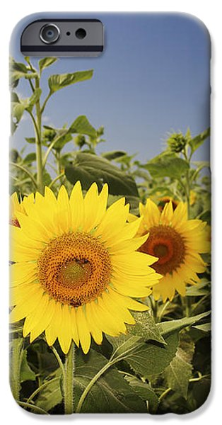 Sunflowers on North Shore iPhone Case by Vince Cavataio - Printscapes