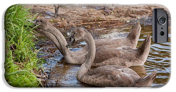 Swans... iPhone Cases - Swan Cygnets Eating Grass iPhone Case by Arletta Cwalina