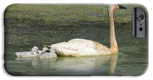 Swans... iPhone Cases - Swimming Swans iPhone Case by Whispering Peaks Photography