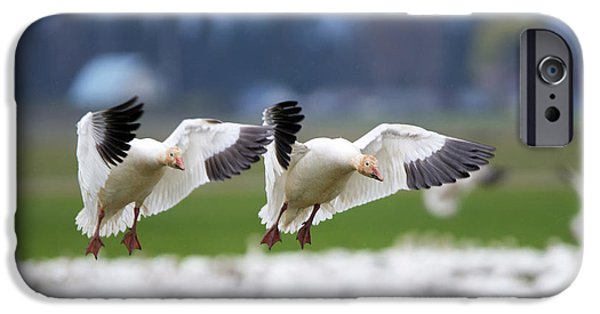 Geese iPhone Cases - Tandem Landing  iPhone Case by Mike Dawson