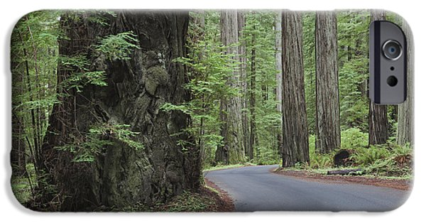 Thoroughfare iPhone Cases - The Giant Redwoods Trees In Humboldt iPhone Case by Douglas Orton
