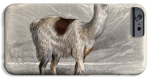 Animal Drawings iPhone Cases - The Llama, Drawn By H. Gobin, Engraved iPhone Case by Ken Welsh