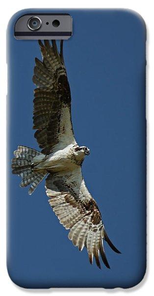 Bird In Flight iPhone Cases - The Osprey iPhone Case by Ernie Echols