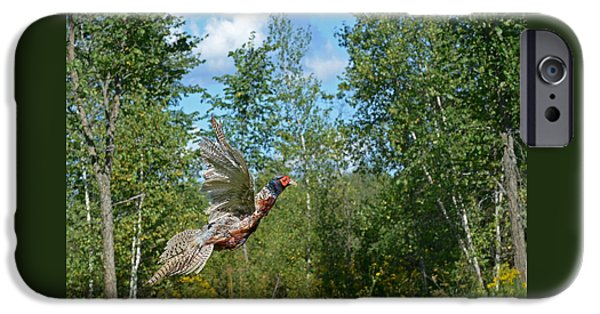 Dogs iPhone Cases - The Ring-necked Pheasant in take-off flight iPhone Case by Asbed Iskedjian