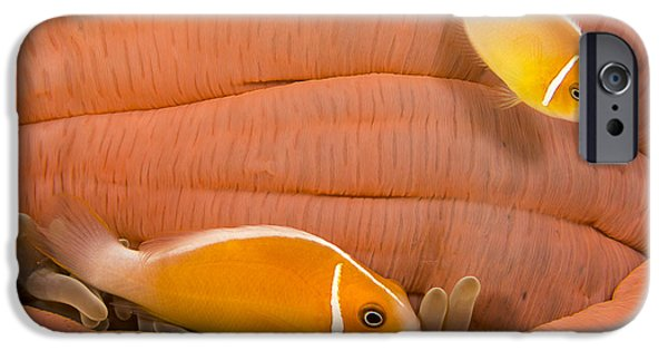 Undersea Photography iPhone Cases - This Common Anemonefish  Amphiprion iPhone Case by Dave Fleetham