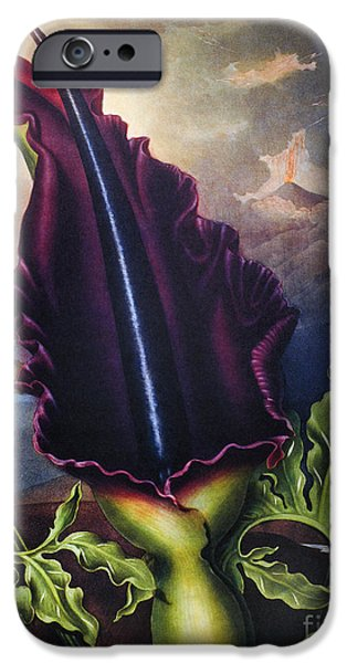 1801 iPhone Cases - Thornton: Dragon Arum iPhone Case by Granger