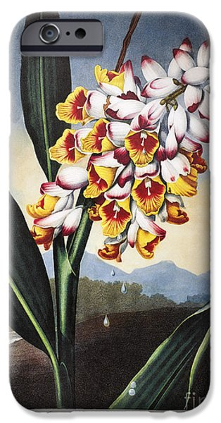 1801 iPhone Cases - Thornton: Shell Ginger iPhone Case by Granger