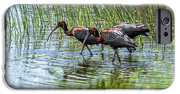 Birds iPhone Cases - Three Glossy Ibis iPhone Case by Belinda Greb