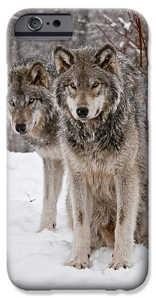 Timber Wolf Pictures iPhone Cases - Timber Wolves in Winter iPhone Case by Michael Cummings