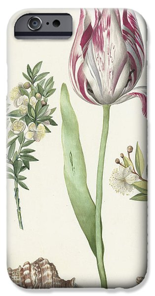Flora Drawings iPhone Cases - Tulip iPhone Case by Maria Sibylla Graff Merian