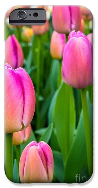 Agriculture iPhone Cases - Tulips 5 iPhone Case by Marcin Rogozinski