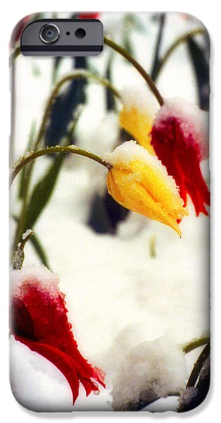 Landscape Poster Photographs iPhone Cases - Tulips in the Snow iPhone Case by James BO  Insogna