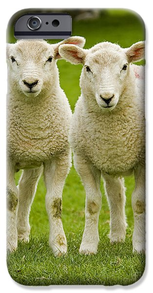 Nature iPhone Cases - Twin Lambs iPhone Case by Meirion Matthias