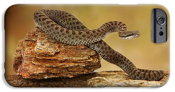 Serpent Photographs iPhone Cases - Twin-Spotted Rattlesnake On Top of Rock iPhone Case by Susan  Schmitz