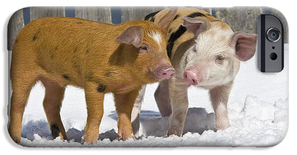 Litter Mates iPhone Cases - Two Piglets iPhone Case by Jean-Louis Klein & Marie-Luce Hubert