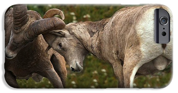 Animals Photographs iPhone Cases - Two Rams Fighting iPhone Case by Adam Jewell