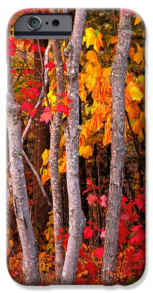 Maine iPhone Cases - Usa, Maine, Autumn Maple Trees iPhone Case by Panoramic Images