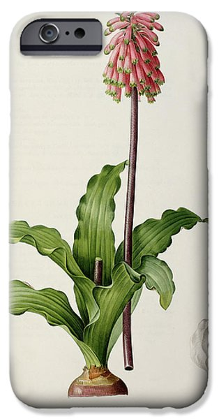 Lilac iPhone Cases - Veltheimia Capensis iPhone Case by Pierre Joseph Redoute