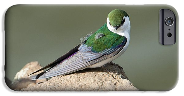 Violet Photographs iPhone Cases - Violet-Green Swallow iPhone Case by Mike Dawson