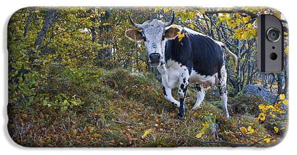 Fall Scenes iPhone Cases - Vosges Cow In A Beech Forest iPhone Case by Jean-Louis Klein & Marie-Luce Hubert