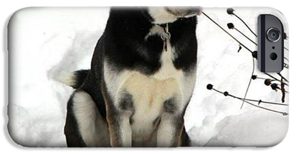 Husky iPhone Cases - Waiting for his People to Come and Play iPhone Case by Kelly Mills
