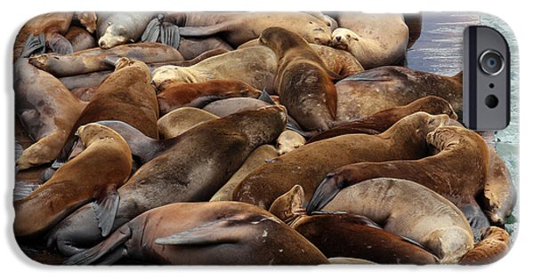 Sea Lions iPhone Cases - Water Setters iPhone Case by Ty Helbach