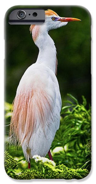 Cattle Egret iPhone Cases - Wearing Spring Colors iPhone Case by Christopher Holmes