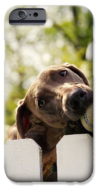 Weimaraners iPhone Cases - Weimaraner Holding Baseball In Mouth iPhone Case by Gillham Studios