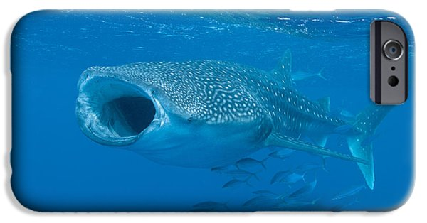 Wild Animals iPhone Cases - Whale Shark, Ari And Male Atoll iPhone Case by Mathieu Meur