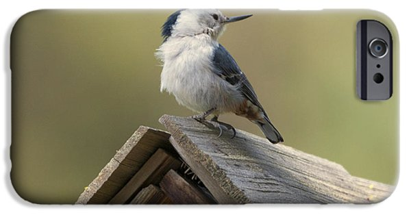 Birdhouse iPhone Cases - White-Breasted Nuthatch iPhone Case by Mike Dawson