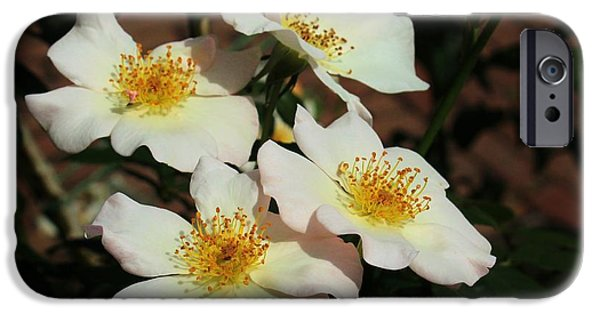 Flora iPhone Cases - White Wild Roses iPhone Case by Karen Silvestri