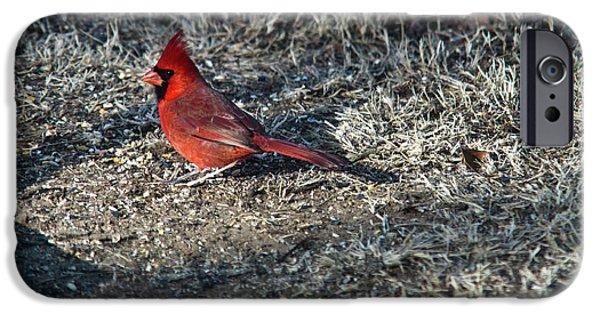 Arkansas iPhone Cases - Winter Redbird iPhone Case by Douglas Barnett