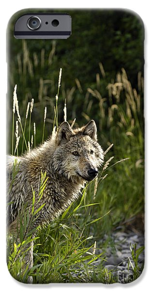 Gray Hair iPhone Cases - Wolf Glowing in the Sun iPhone Case by Wildlife Fine Art