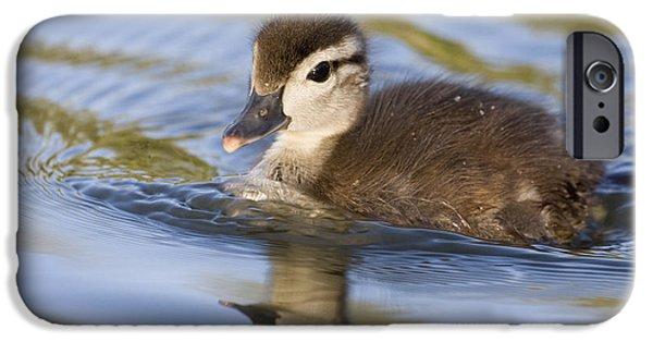 Baby Bird iPhone Cases - Wood Duck Duckling Swimming Santa Cruz iPhone Case by Sebastian Kennerknecht