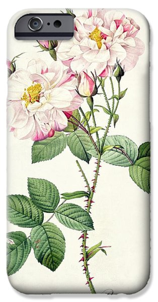 Plant Drawings iPhone Cases - York and Lancaster Rose iPhone Case by Pierre Joseph Redoute