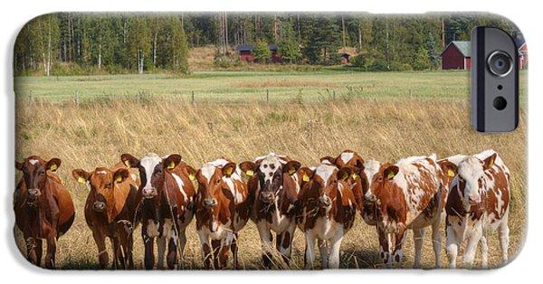 Meadow Photographs iPhone Cases - Young calves on pasture iPhone Case by Veikko Suikkanen