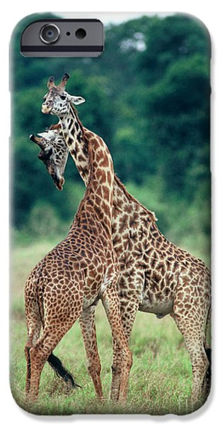 Fauna iPhone Cases - Young Male Giraffes Necking iPhone Case by Greg Dimijian