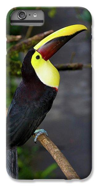 Chestnut-mandibled Toucan, Ramphastos IPhone 6 Plus Case by Thomas Wiewandt