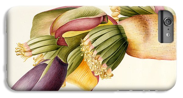 Flower Of The Banana Tree  IPhone 6 Plus Case by Georg Dionysius Ehret