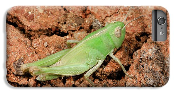 Grasshopper Aiolopus Strepens Nymph IPhone 6 Plus Case by Nigel Downer